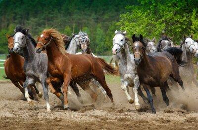 Fototapete Arabian horses gallop