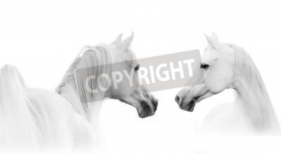 Fototapete arabian weißen Pferd