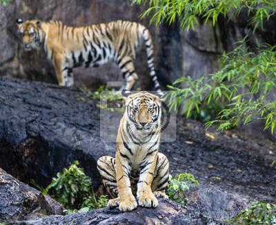 Asian-oder Bengal Tiger mit Bambus Büsche im Hintergrund