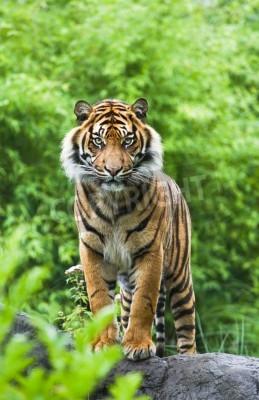Fototapete Asiatisch- oder bengalischer Tiger, der mit Bambusbüschen im Hintergrund steht