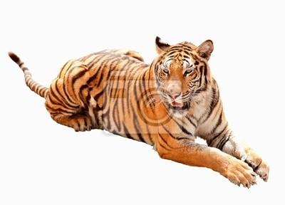 Asien Tiger