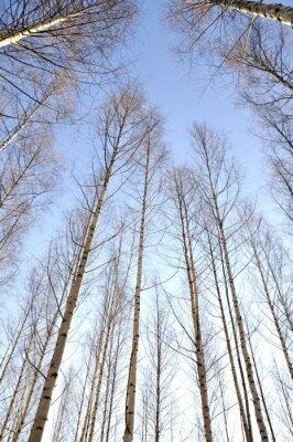 Fototapete Auf der Suche nach oben die weißen Stämme einer Gruppe von nackten Birken