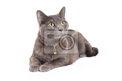 Fototapete Aufmerksame Grau Hauskatze Kurzhaar-Katze