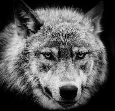 Fototapete Augen des Wolfs, Ein Schwarz-Weiß-Kopf Schuss von einem Wolf.