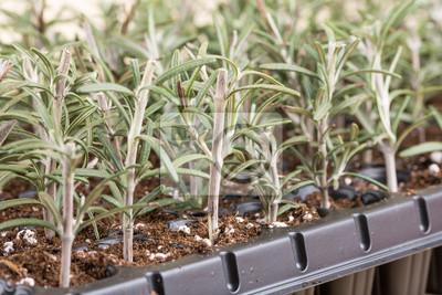 Ausbreitung Rosmarin Kleine Pflanzen In Der Kunststoff Kindergarten