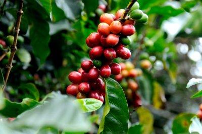 Fototapete Ausgezeichneter Kaffee aus Costa Rica.