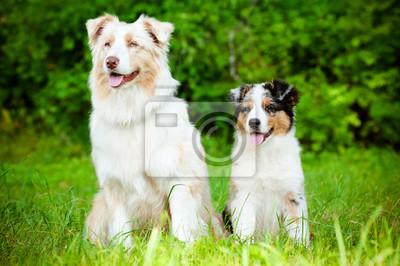 Australian Shepherd Hund und Welpen