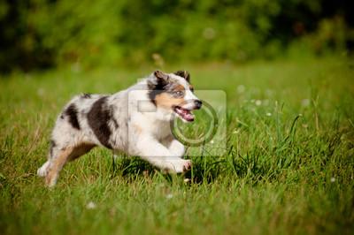 australischer Welpe läuft
