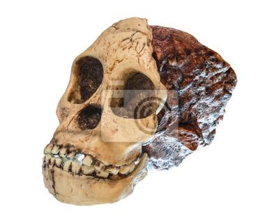 Australopithecus africanus schädel. (taung kind). bis vor 2,5 ...
