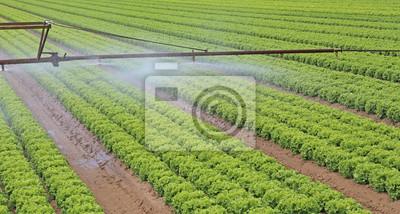 Automatische Bewasserung System Eines Salat Feld Im Sommer