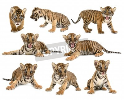 Fototapete baby bengal tiger isolated on white background