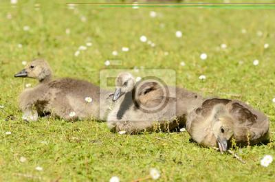 pretty nice e361f 88c17 Fototapete: Baby-gans