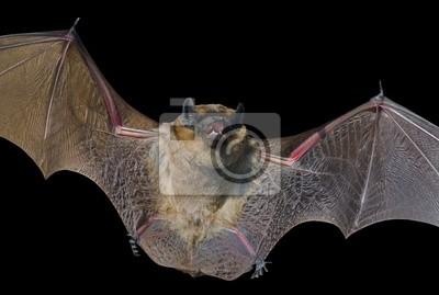 Fototapete Bat 18