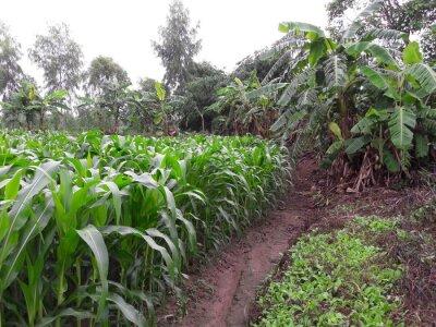 Bauernhof frischen Mais, grünem Hintergrund.