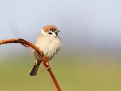 Fototapete Baum Sparrow auf Zweig, Passer montanus