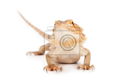 Fototapete Bearded Dragon