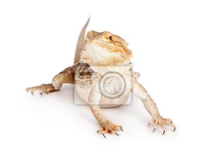 Fototapete Bearded Dragon auf weiß
