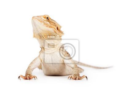 Fototapete Bearded Dragon Blick nach oben