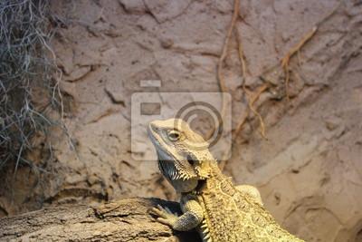 Bearded dragon climbing a piece of wood