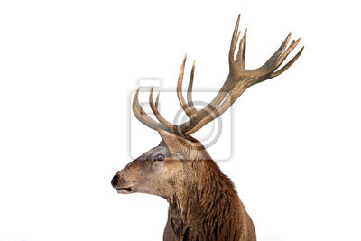 Fototapete Beautiful closeup of a deer with antlers on isolated background.