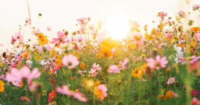 Fototapete beautiful cosmos flower field