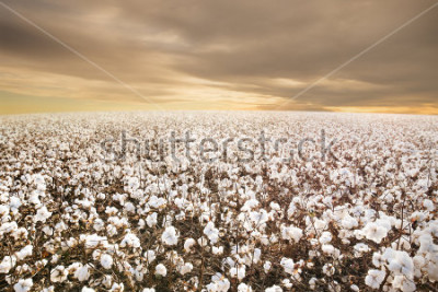 Fototapete Beautiful Cotton Field in Texas with morning Sunrise