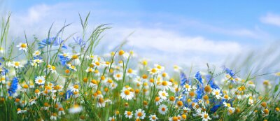 Fototapete Beautiful field meadow flowers chamomile, blue wild peas in morning against blue sky with clouds, nature landscape, close-up macro. Wide format, copy space. Delightful pastoral airy artistic image.