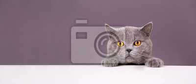 Fototapete beautiful funny grey British cat peeking out from behind a white table with copy space