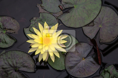 Beautiful Lotus Flower And Leaf In The Pond Top View Shooting