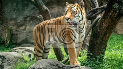 Beautiful Tiger Standing