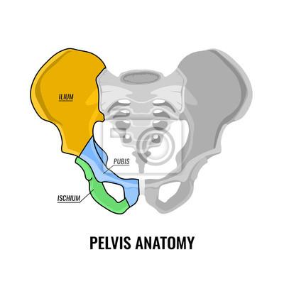 Becken-anatomie-schema fototapete • fototapeten Kreuzbein, Femur ...