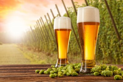 Fototapete Beer glasses with hop-field on background