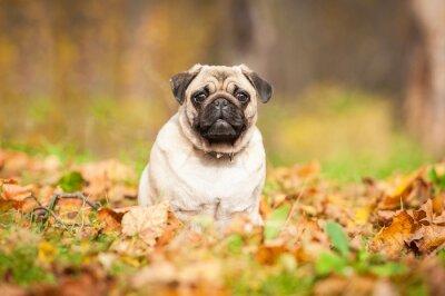Fototapete Beige Mops Hund sitzt auf der Blätter im Herbst