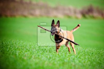Belgischer Schäferhund Welpen trägt einen Stock