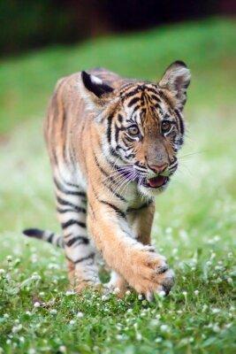 Fototapete Bengal-Baby-Tiger geht über eine Wiese.