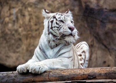 Fototapete Bengal Tiger - eine seltene Unterart, ist in der IUCN Roten Liste enthalten