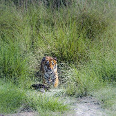 Fototapete Bengal-Tiger im Bardia Nationalpark, Nepal