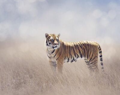 Bengal-Tiger im Grasland
