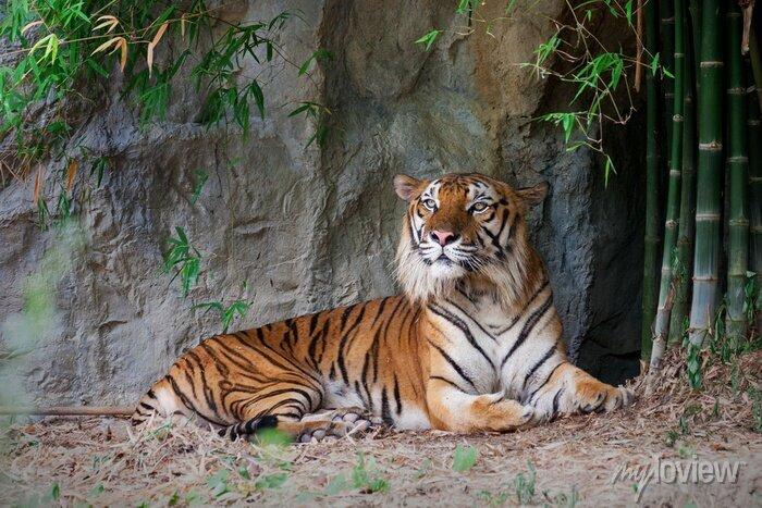 Fototapete Bengal-Tiger im Wald