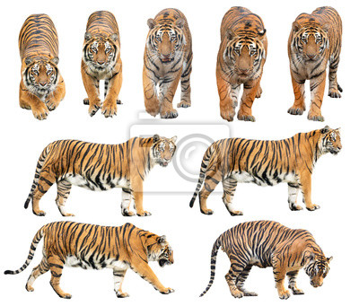 Fototapete bengal tiger isolated on white background