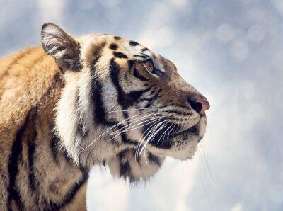 Bengal-Tiger-Portrait