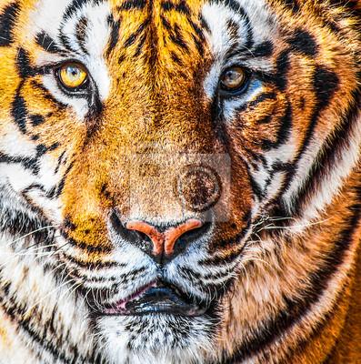 Bengal Tiger Porträt