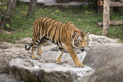 Fototapete Bengal Tiger zu Fuß