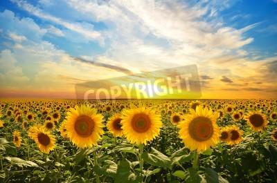 Fototapete Bereich der blühenden Sonnenblumen auf einem Hintergrund Sonnenuntergang