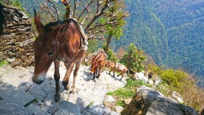 Fototapete Berg esel in nepal