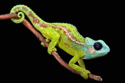 Fototapete Berg Hanang Chameleon (trioceros hanangensis)