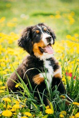 Fototapete Bernese Gebirgshund oder Berner Sennenhund Welpe Sitzen Im Grün