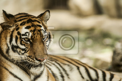 Beruhigende Tiger, Porträt einer Bengal-Tiger.