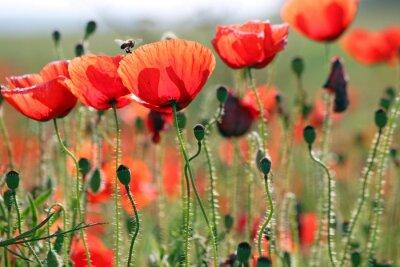 Fototapete Biene und Mohnblumen Blume Frühling Saison
