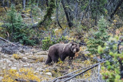 Fototapete Big brown bear auf der Suche nach Eicheln